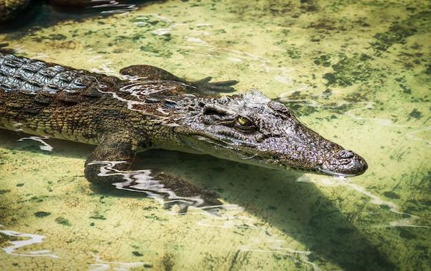 Jeune crocodile brun dans l'eau