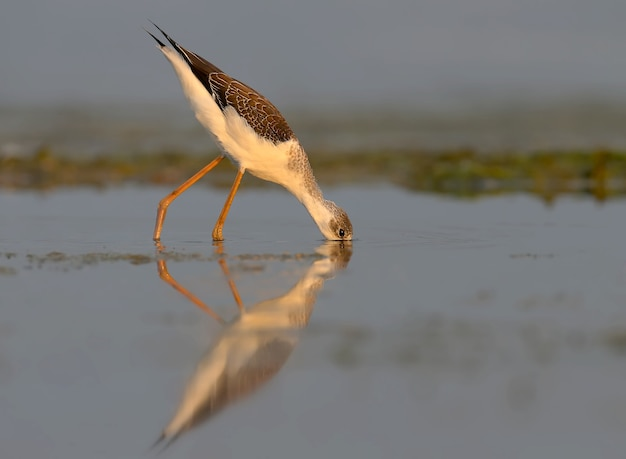 Une jeune échasse à ailes noires (himantopus himantopus) marche en eau peu profonde dans la douce lumière du matin