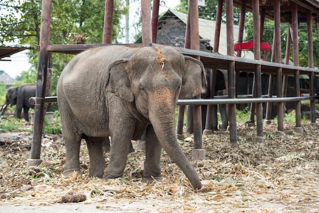 Jeune éléphant, manger, herbe sèche