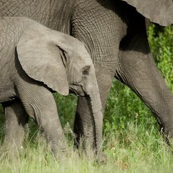 Jeune éléphant et sa mère