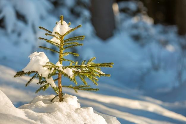 Jeune épinette tendre avec des aiguilles vertes couvertes de neige profonde et de givre sur fond d'espace copie colorée lumineuse. carte de voeux joyeux noël et bonne année.