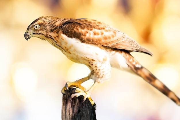 Jeune faucon brun tenir sur le bois et flou doux