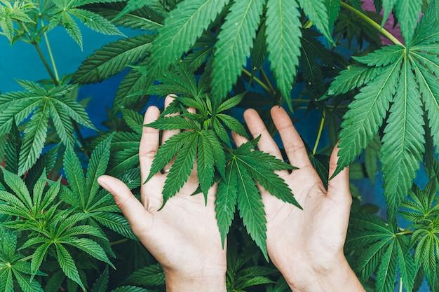 Jeune femme cultivant des plants de marijuana à l'intérieur d'une ferme - médecine du cannabis, mode de vie sain et concept écologique - se concentrer sur les feuilles tenues par les mains