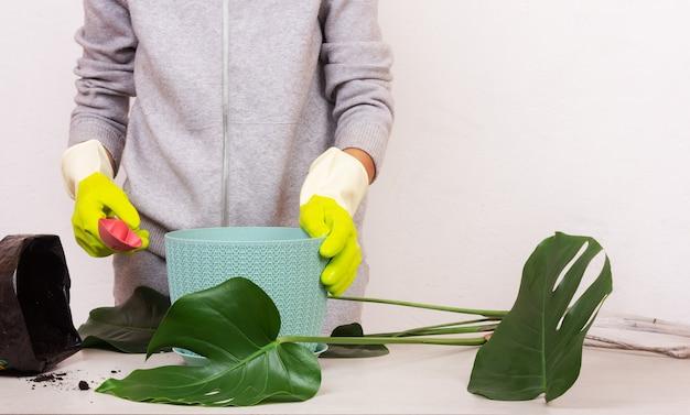 Une jeune femme plante une plante tropicale d'intérieur monstera dans un pot de fleurs