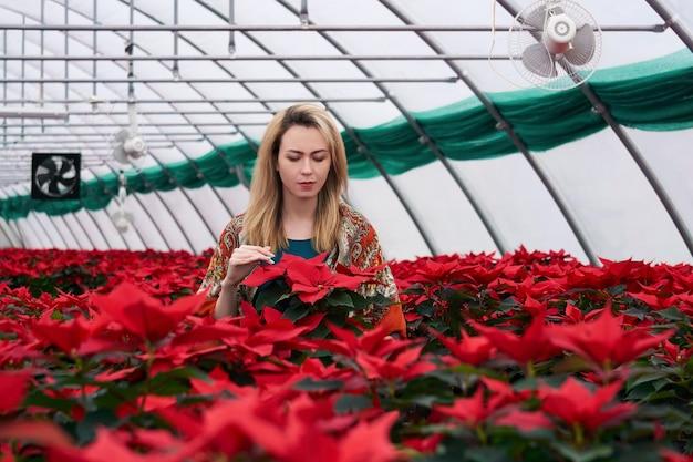La jeune femme regarde les fleurs de poinsettia rouges dans l'intérieur de serre chaude le jour d'hiver