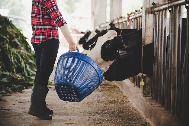 Jeune femme travaillant avec du foin pour les vaches à la ferme laitière