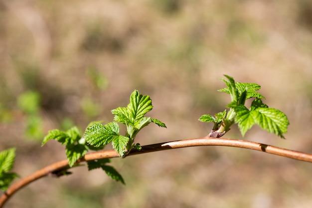 Jeune feuillage vert des framboises délicieuses, arbuste dans le ressort de jardin