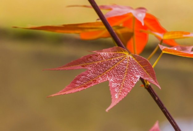 Jeune feuille-couleur de acer wilsonii rehder