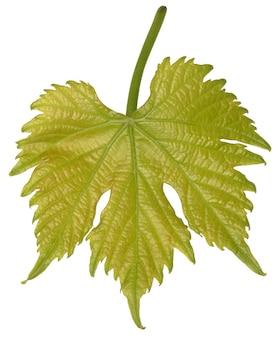 Jeune feuille de vigne isolé sur fond blanc