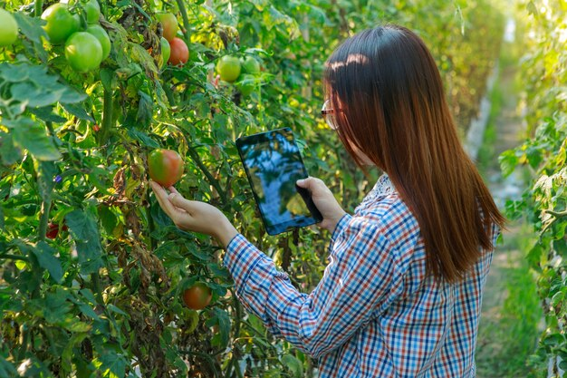 Jeune fille vérifiant les plants de tomates de qualité par tablette. concept de production agricole et alimentaire.