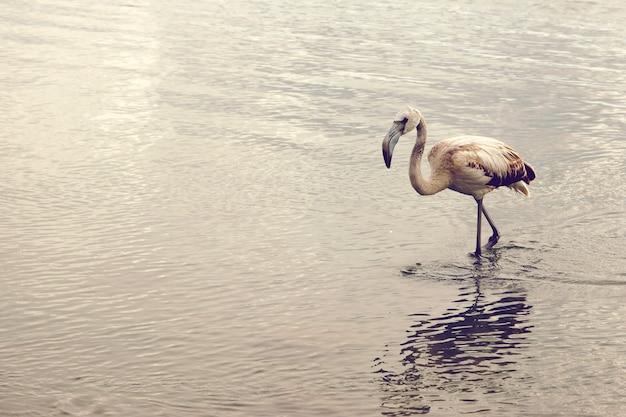 Le jeune flamant rose va jusqu'aux genoux dans l'eau, copiez l'espace pour votre texte à gauche