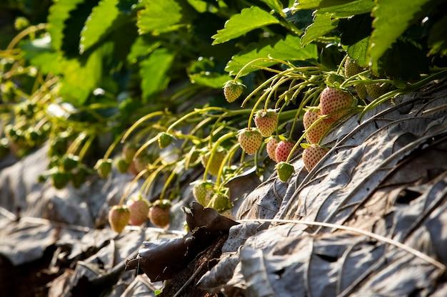 Jeune fraise à chiang mai au nord de la thaïlande