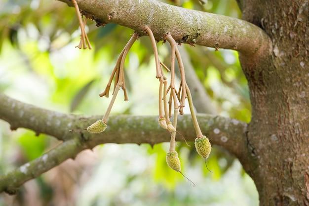 Jeune fruit durian sur arbre