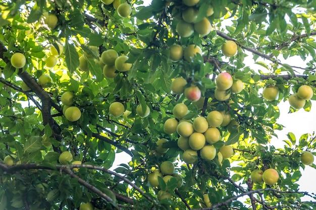 Jeune fruit de prune verte sur un arbre, fruit.