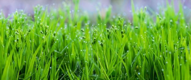 Jeune herbe verte avec des gouttes de rosée le matin