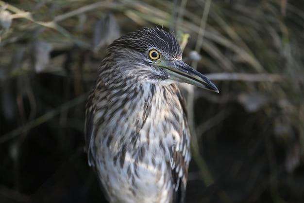 Un jeune héron nocturne à couronne noire (nycticorax nycticorax) est très rapproché à bout portant. les signes d'identification et les détails du plumage de l'oiseau sont clairement visibles.
