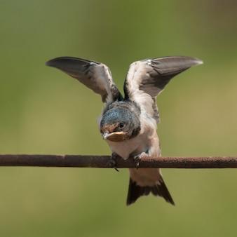 Une jeune hirondelle rustique (hirundo rustica) déploie ses ailes.