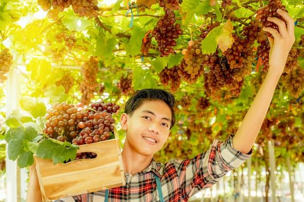 Jeune homme agriculteur d'asie récolte du raisin dans le vignoble avec caisse en bois, concept de fruits biologiques sains.