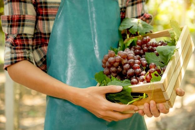 Jeune homme asiatique agriculteur main tenant des raisins après la récolte sous forme de vignoble, concept de fruits sains.