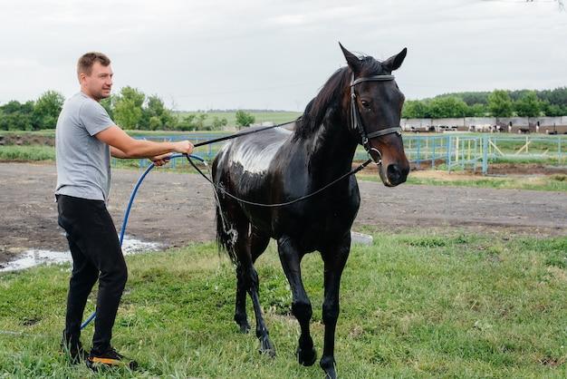 Un jeune homme lave un cheval pur-sang avec un tuyau un jour d'été au ranch. elevage et élevage de chevaux.