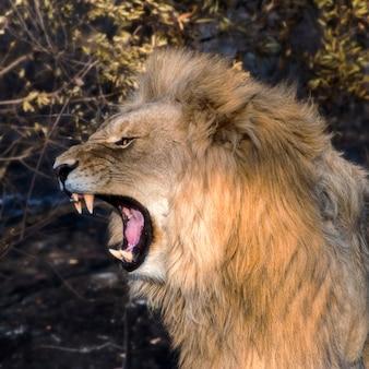 Jeune homme lion rugissant à l'aube en afrique du sud
