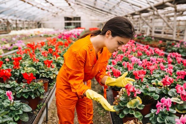 Jeune jardinière femme regardant la fleur de cyclamen rose
