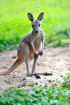 Jeune kangourou australien sur une herbe verte
