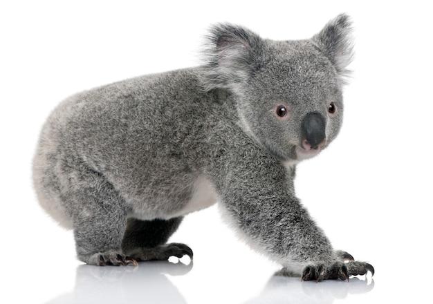 Jeune koala, phascolarctos cinereus, sur un blanc isolé