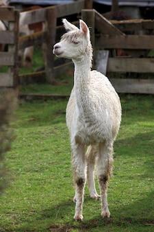 Jeune lama dans la ferme avec de l'herbe verte