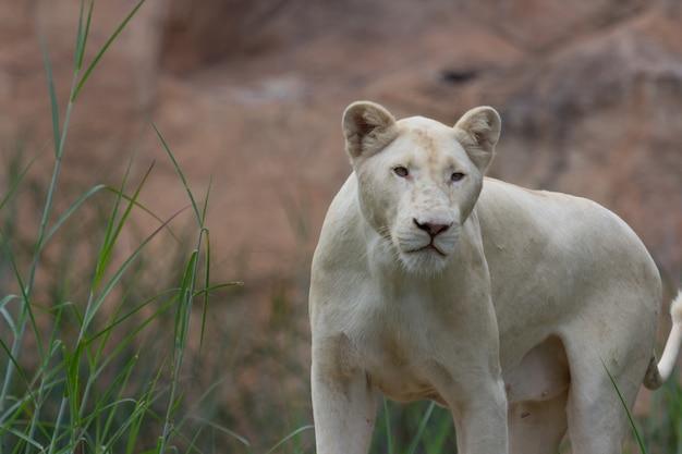 Jeune lion blanc dans la nature