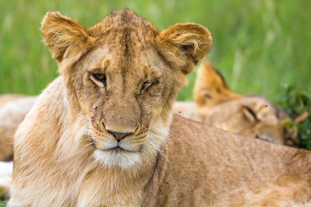 Un jeune lion en gros plan, le visage d'un lion presque endormi