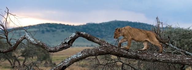 Jeune lion marchant sur une branche, serengeti, tanzanie, afrique