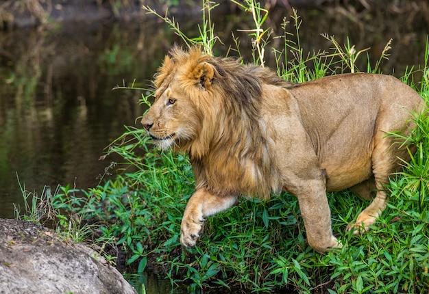 Jeune lion près d'un petit étang dans l'herbe. kenya. tanzanie. afrique.