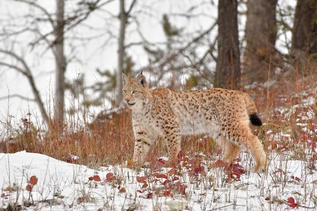 Jeune lynx de sibérie debout près des bois dans la neige