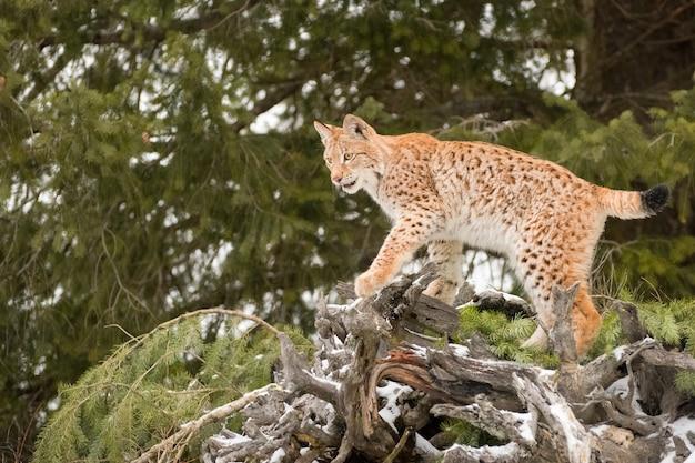 Jeune lynx de sibérie grimpant sur un arbre à feuilles persistantes tombé