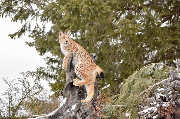 Jeune lynx de sibérie grimpant sur une souche dans une forêt de pins en hiver