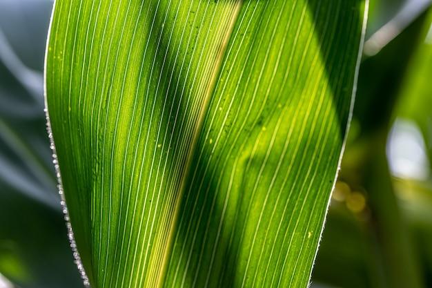 Jeune maïs vert poussant sur le fond du champ