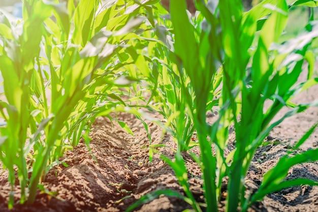 Jeune maïs vert sur le terrain