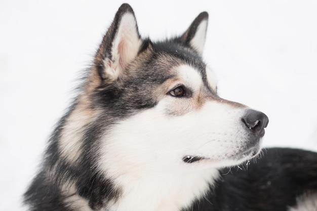 Jeune malamute d'alaska à l'arrière dans la neige. hiver de chien. photo de haute qualité
