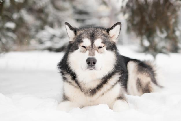 Jeune malamute d'alaska aux yeux fermés couché dans la neige. hiver de chien. plaisir.