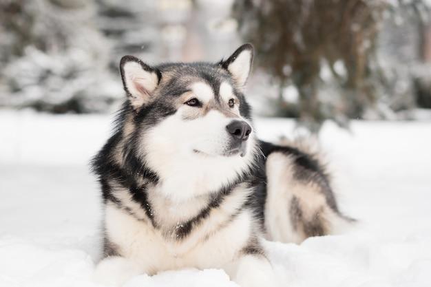 Jeune malamute d'alaska couché dans la neige. hiver de chien.