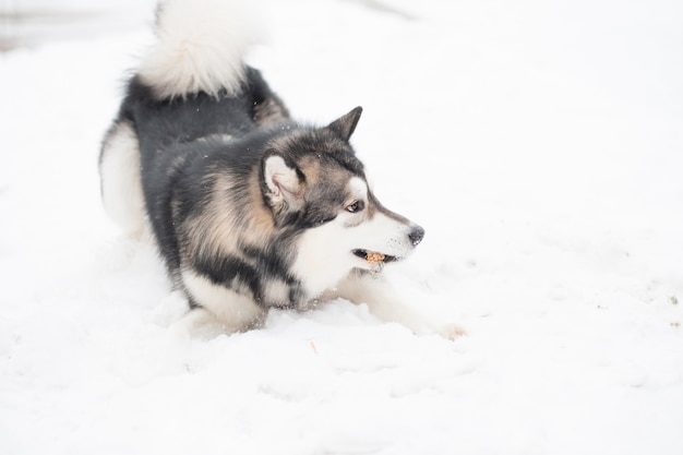 Jeune malamute d'alaska jouant dans la neige. hiver de chien.