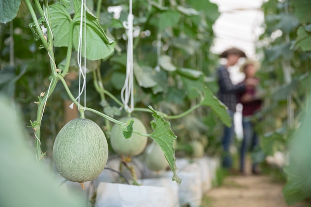 Jeune melon vert ou cantaloup poussant dans la serre