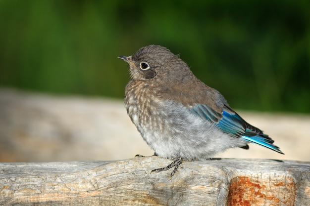 Jeune oiseau bleu au monument national de cedar breaks