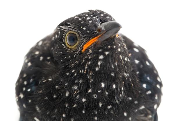Un jeune oiseau coucou plaintif