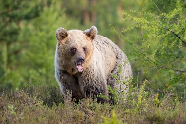 Jeune ours brun debout sur le pré dans la nature estivale