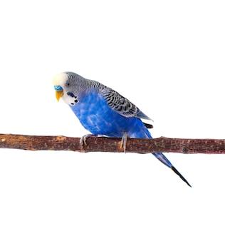Jeune perruche bleue sur perchoir, isolé sur blanc