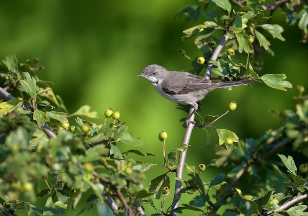 Jeune petite gorge blanche (curruca curruca) tourné dans l'habitat naturel sur une branche et des buissons sur un fond vert flou