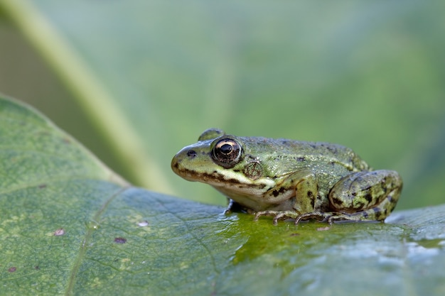Une jeune petite grenouille sur une feuille de plante verte et humide