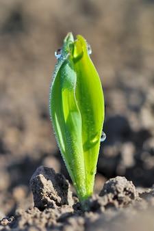 Jeune plant de blé couvert de rosée